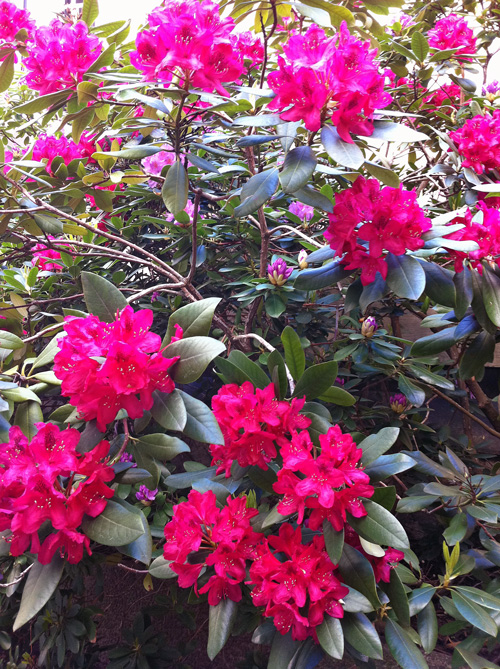 Blommande Rhododendron